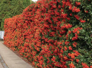 PYRACANTHA in offerta
